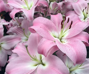 flowers, lilies, and lilly image