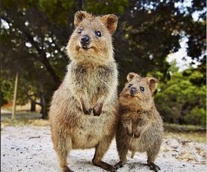 animal, quokka, and cute image