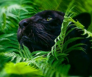 animals, big cats, and black image