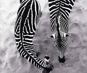 black and white and zebra image