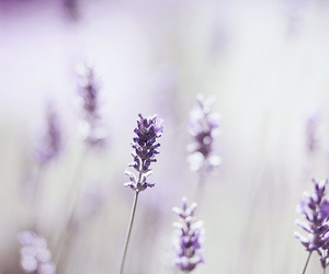 lavender and lilacs image
