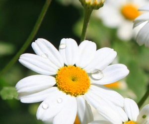 camomile, flower, and spring image
