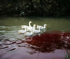 blood, Swan, and lake image