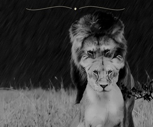 behind, lioness, and in front image