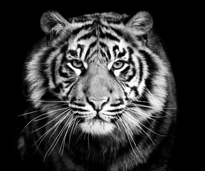tiger, animal, and photography image