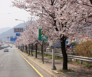 asia, cherry blossoms, and flowers image
