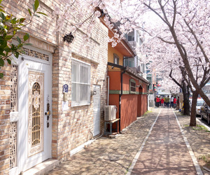 cherry blossoms, south korea, and jinhae image