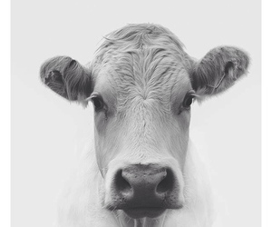 animal, cow, and white image
