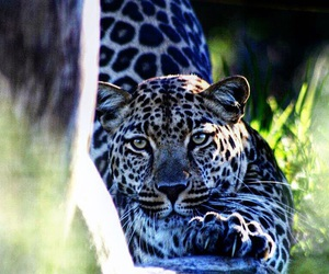 animals, beautiful, and leopard image