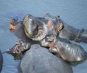 animals, family, and hippos image