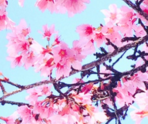 blue, cherry blossoms, and pink image