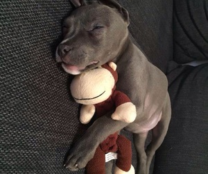 lindo, perro, and pit bull image