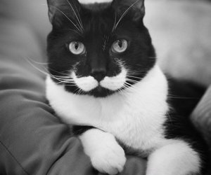 cat, mustache, and black and white image