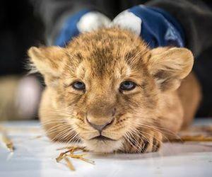 baby animals, big cats, and cub image