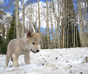snow, cute, and wolf image