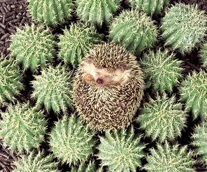 hedgehog, cute, and cactus image