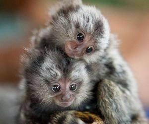animal, baby, and monkey image
