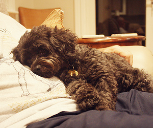adorable, black, and dog image