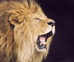 lion, animal, and roar image