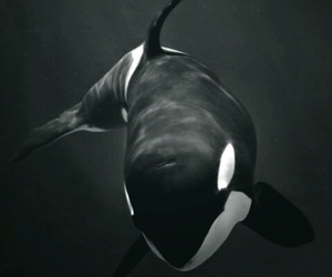 whale, animal, and orca image
