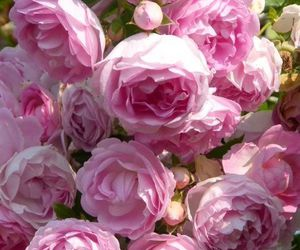 flowers, pink roses, and roses image