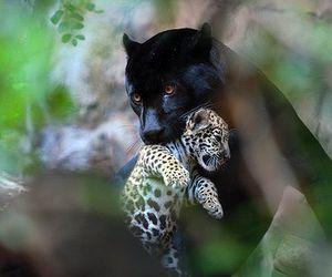 animal, panther, and beautiful image