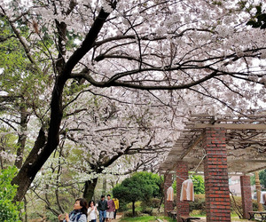 cherry blossoms, korea, and road image