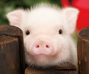 animals, pets, and pigs image
