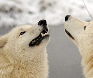 snow and wolves image