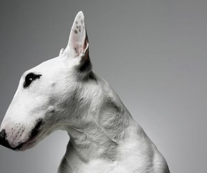 bullterrier and dog image