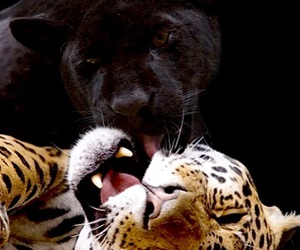 animal, panther, and photography image