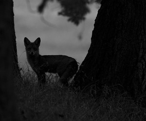 black and white, wild, and fox image