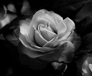 beautiful, black and white, and flower image