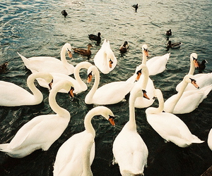 Swan, animal, and water image
