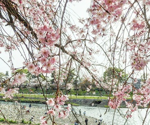 cherry blossoms, pink, and spring flower image