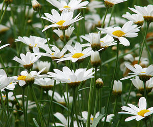 daisies and spring image