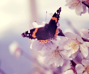 butterfly, cherryblossom, and spring image