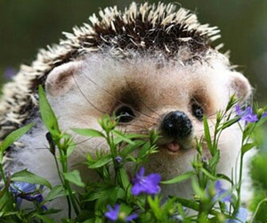 adorable, animals, and hedgehog image