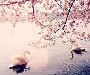 Swan, lake, and spring image