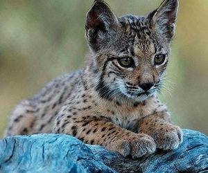 baby, lynx, and wildlife image