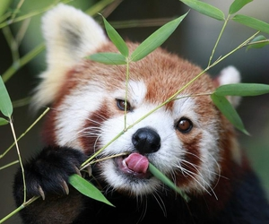 animal, nature, and Red panda image