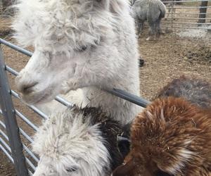 alpaca, llama, and photography image