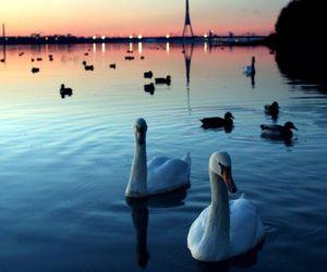 beautiful, Swan, and bird image