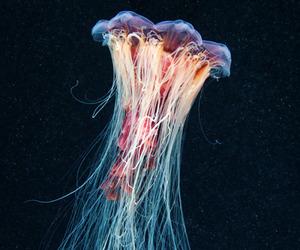 jellyfish image