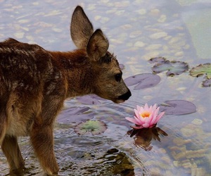 deer, pond, and water lily image