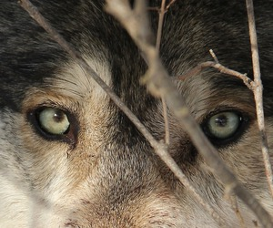 wolf, animal, and eye image