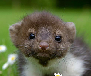 baby, ferret, and cute image