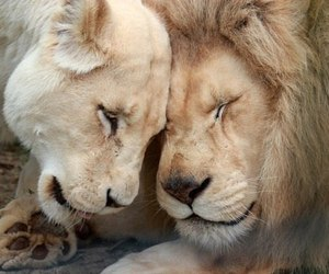 couple, lions, and love image
