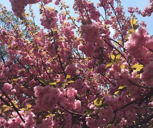 cherry blossoms, flowers, and Washington DC image