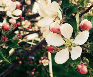 apple, apple blossoms, and beautiful image